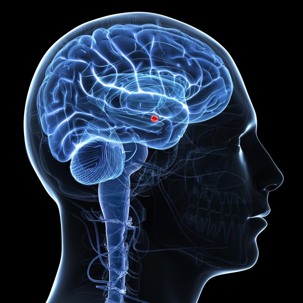 Amygdala of the brain, artwork