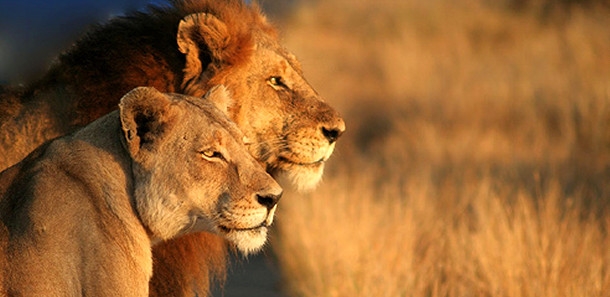 african lions 00