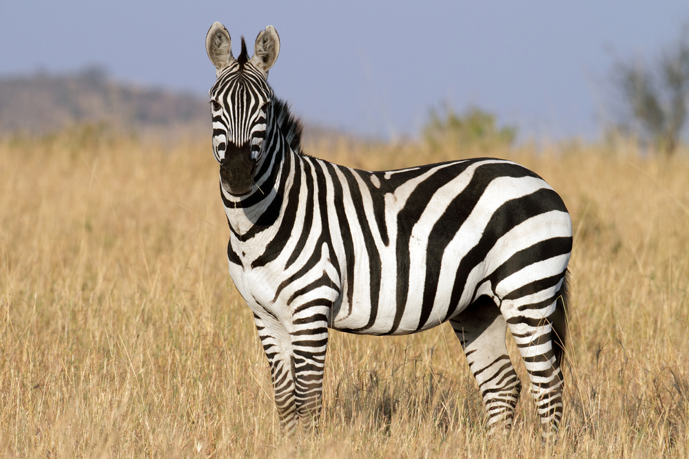 zebra on live science